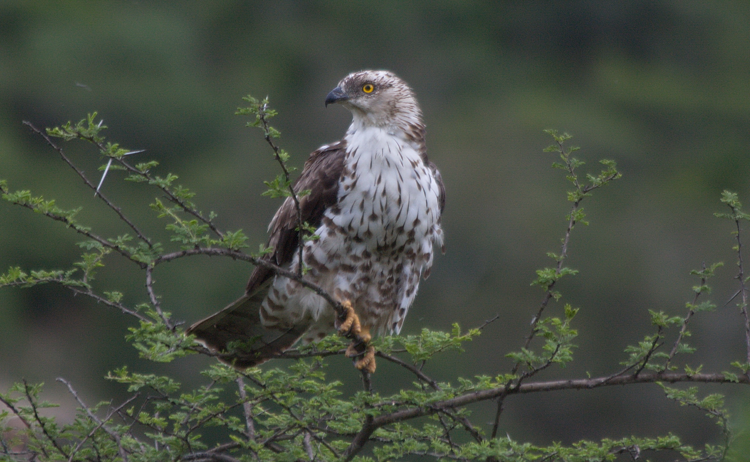european honey buzzard birdlife port natal