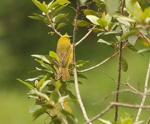 African Golden Weaver, Springside 5th Jan 2013, Paul Bartho