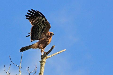 African Harrier-Hawk - iPhiti's mystery raptor