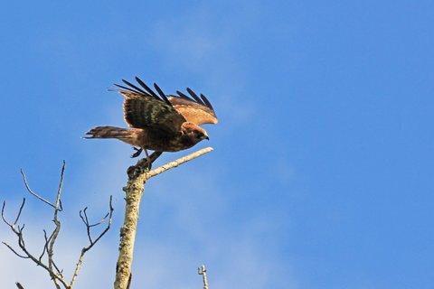African Harrier-Hawk - in flight mode