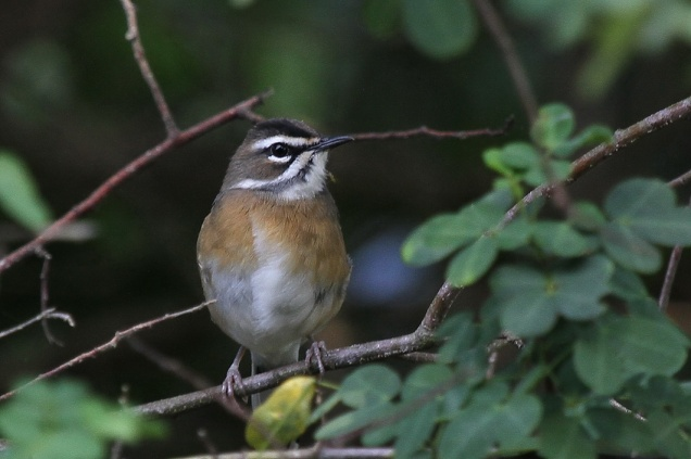 Bearded Scrub-Robin, Bonamanzi
