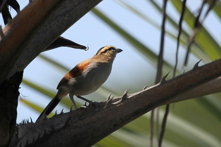 Black-crowned Tchagra, Tembe