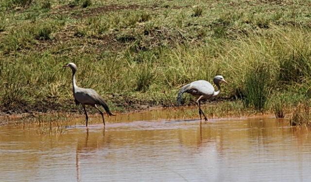 Blue Cranes, Ithala