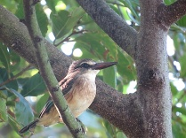 Brown-hooded Kingfisher, False Bay