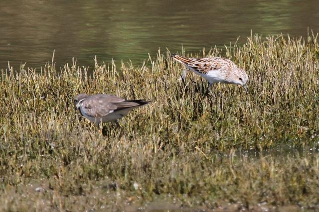 Little Stint in breeding plumage, Ndumo