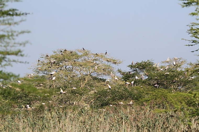 Nesting Site, Ndumo. Only a small portion shown.