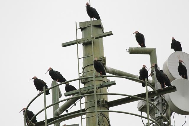 Southern Bald Ibis - Mahai