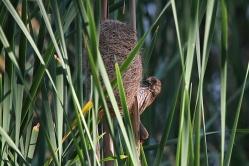 Thick-billed Weaver, Bonamanzi
