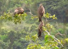 Yellow-billed Kites gathering
