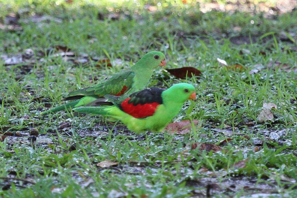 Red-winged Parrots, male female, Timber Creek | BirdLife Port Natal