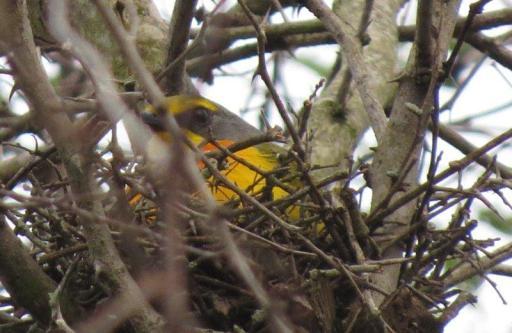 Orange-breasted Bush Shrike on nest