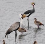 Wattled Crane & Grey Crowned Crane at Eston Ponds