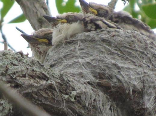 White-crested Helmet Shrike chicks