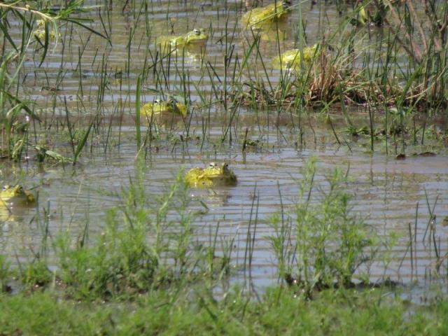 Bullfrog Boudoir