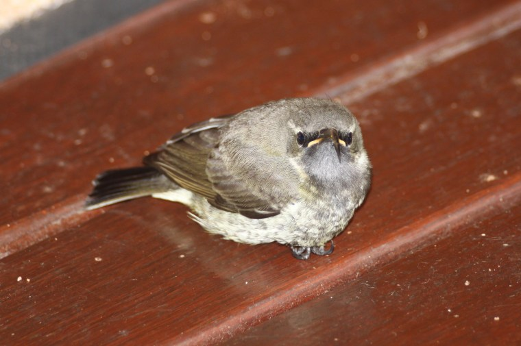 Juvenile Sunbird Resting on deck