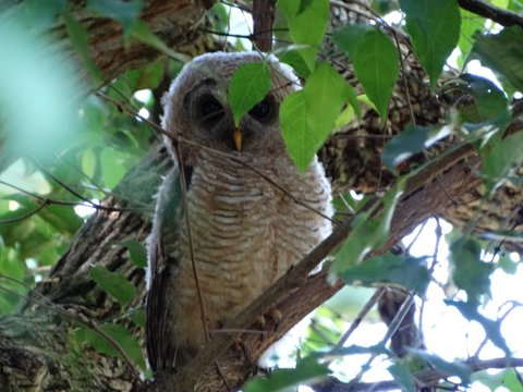 Mystery Owl - Gillitts