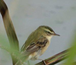 Mystery Bird No. 2.
