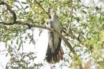 Common or African Cuckoo?
