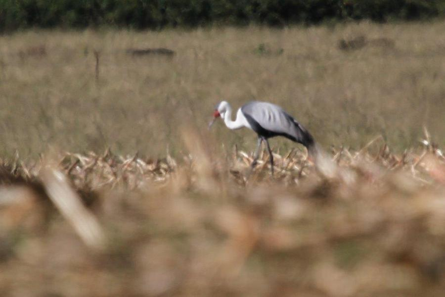 Wattled Crane South Africa Wattled Crane South African