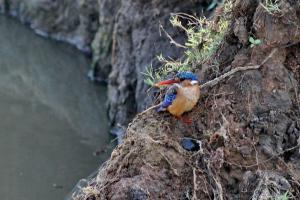 Malachite Kingfisher - still there 6 hours later