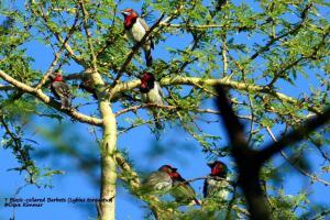 7 Black-collared Barbets (Lybius torquatus)_D714164