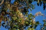 Mistletoe - Tapinanthus (kraussianus perhaps)