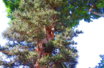 Strangling Tree