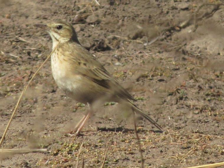 Mystery Pipit