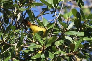 Livingstone's Flycatcher