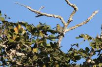 Purple-banded Sunbird - juv male with eyebrow