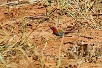 Red-throated Twinspot - male