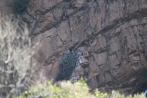 Verreaux's Eagle on nest