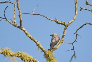 White-breasted Cuckooshrike