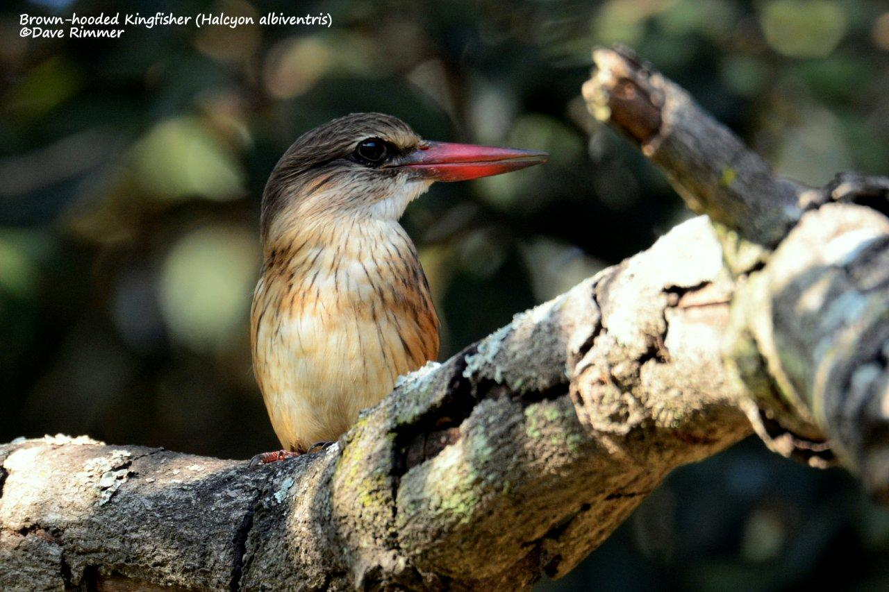 Brown hooded kingfisher - photo#50