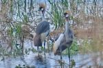 Grey Crowned Cranes -Decklan Jordaan