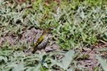 Black Cuckooshrike-female