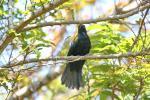 Black Cuckooshrike- male
