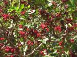 Weeping Boerbean - Schotia
