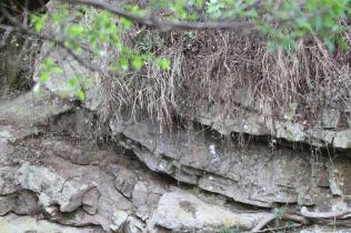 Mountain Wagtail nest site under top overhang below overhanging grass
