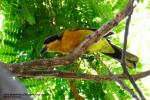 Olive Bushshrike (Chlorophoneus olivaceus)