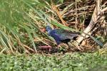 Purple Swamphen - first footing