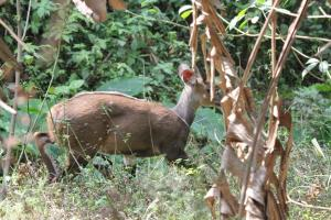 Bushbuck with red tag - left ear.