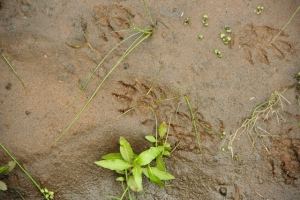 Water Mongoose spoor