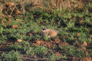 Crowned Lapwing on nest