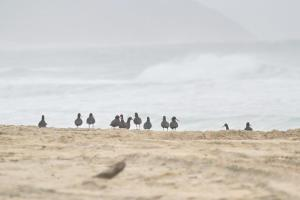 African Black Oystercatchers