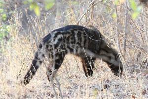 African Civet