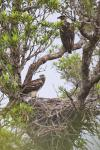 African Fish-Eagles - juveniles at nest