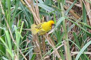 Brown-throated Weaver - fanning his tail