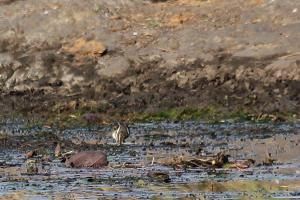Greater Painted-Snipe - Sweni Hide