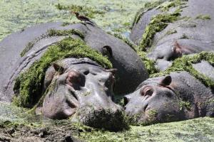 Hippos resting in peace